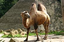 220px-Bactrian_Camel.jpg