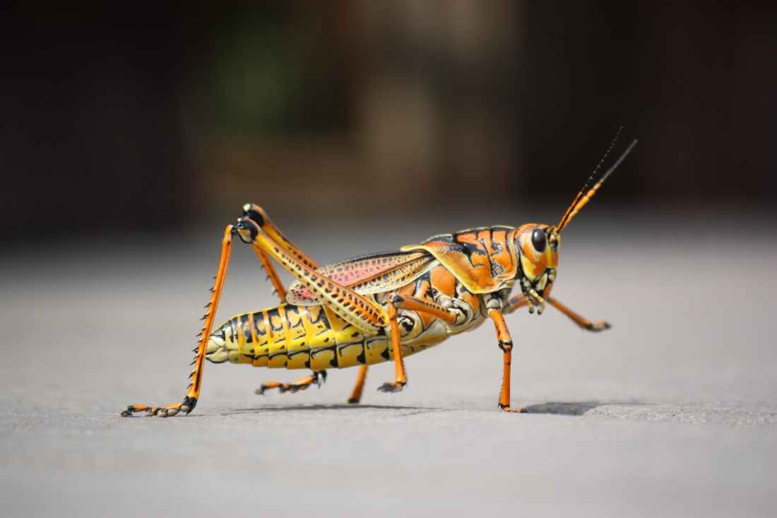nature animal insect grasshopper