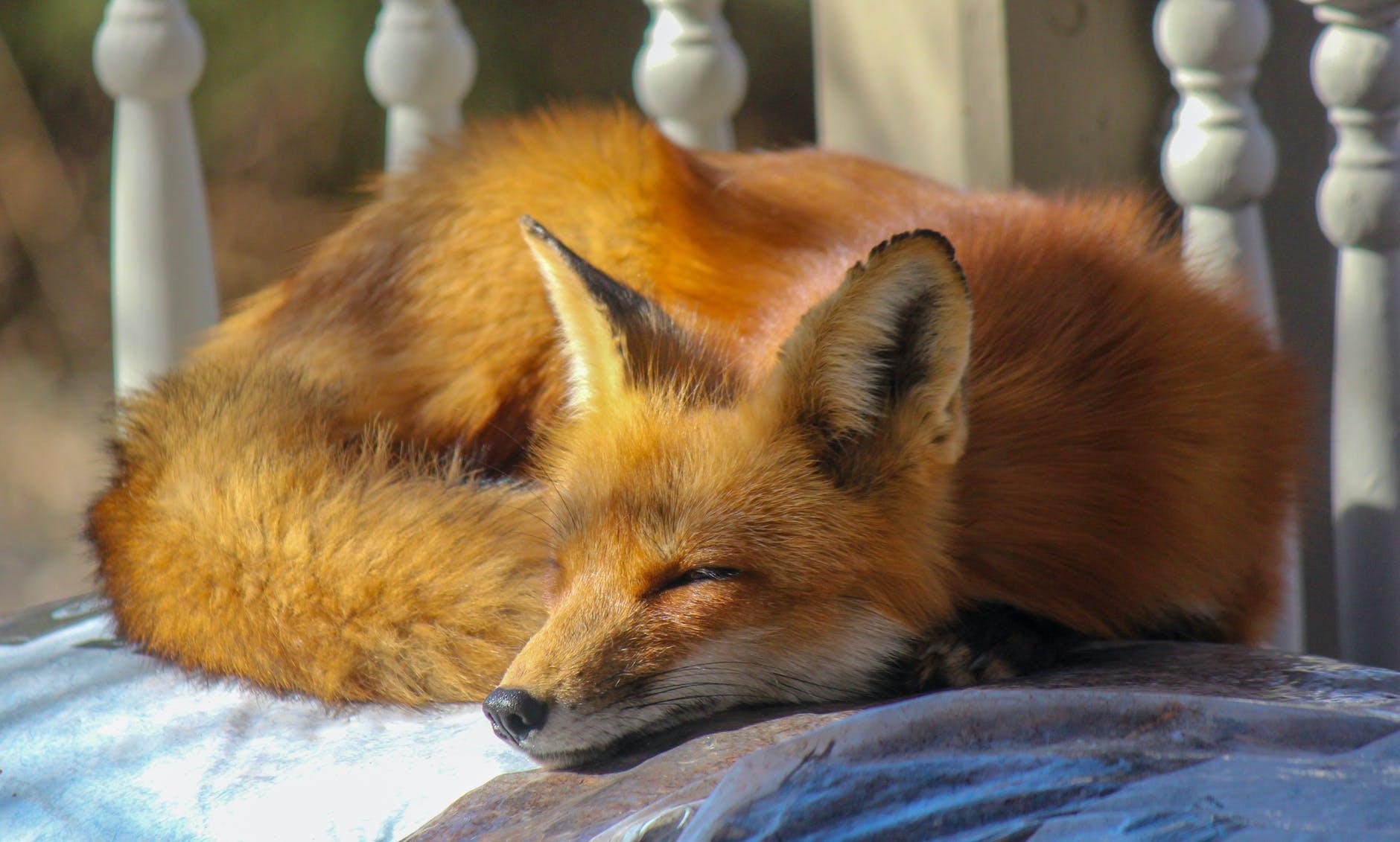 close up photo of sleeping fox