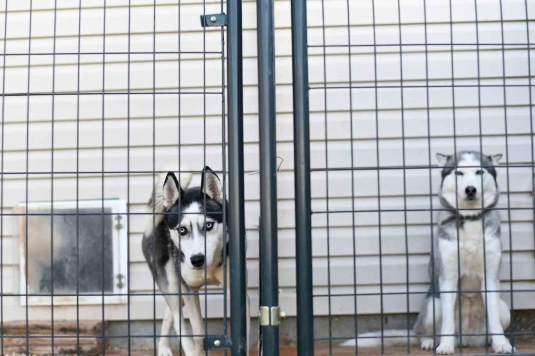 photo of huskies behind fence